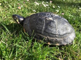 Turtle_big_mamma